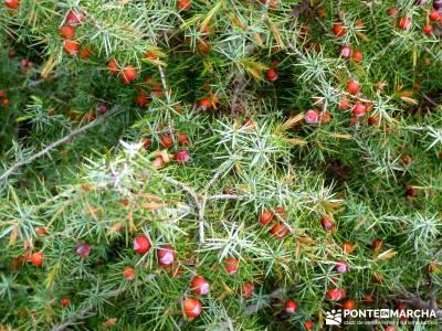 Cebreros - La Merina, Atalaya de ensueño - juniperus oxycedrus;senderismo iniciación